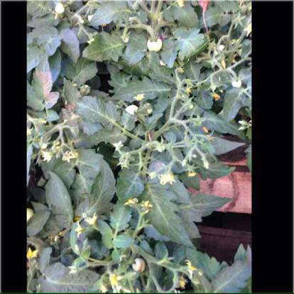 Solanum lycopersicum, var. cerasiforme