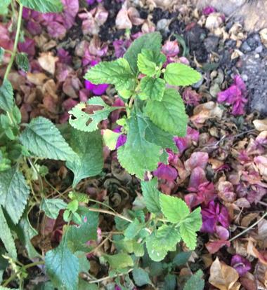 flower viola violet family malvales