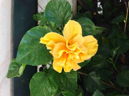 Hibiscus, 'rosa sinensis'