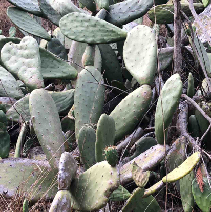 Opuntia, ficus-indica