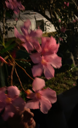 flower, rhododendron, blossom, pink family