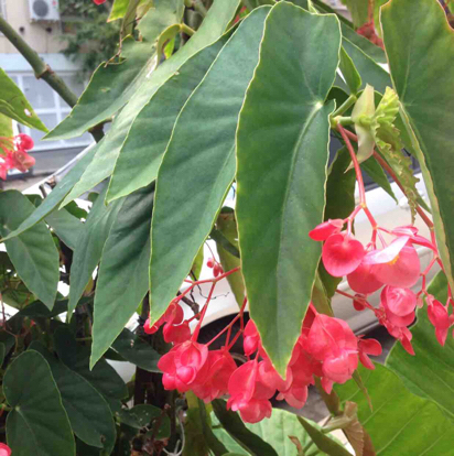 Begonia x semperflorens,'cultorum'