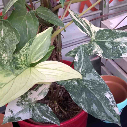 Syngonium podophyllum, 'Albo Variegata'