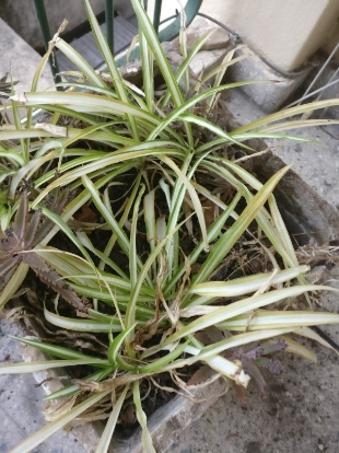 Chlorophytum comosum