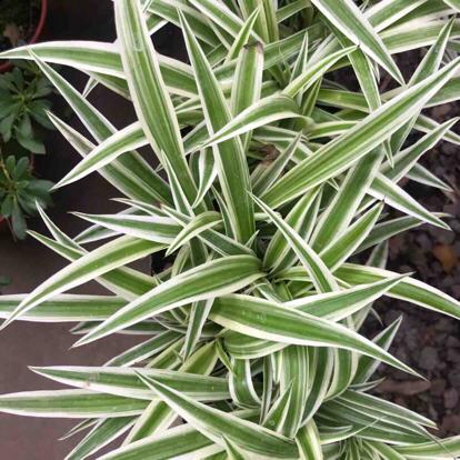 Liriope variegated