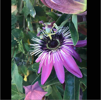 flower, Passion Flower, passion flower family, purple passionflower