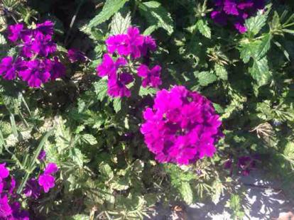 flower, magenta, dianthus, Verbena, verbena family, geranium, pink family, Four o'clock family