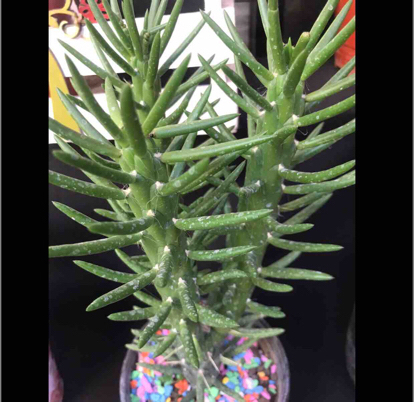 Opuntia cilindrica