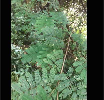 Calliandra parvifolia