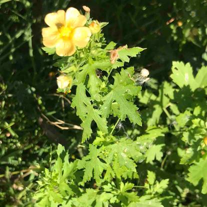 flower, chelidonium, Cinquefoil, herbaceous plant, poppy family