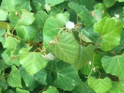 Cissus capensis