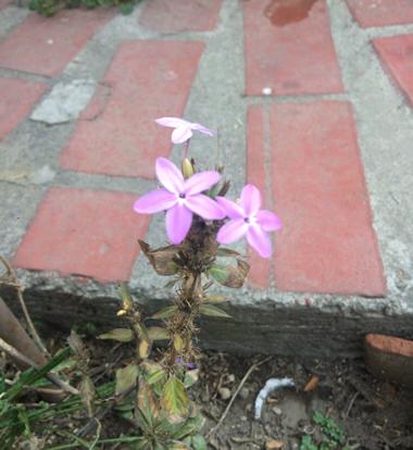 flower daphne impatiens herbaceous plant terrestrial plant