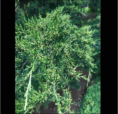 Juniperus comunidad L.