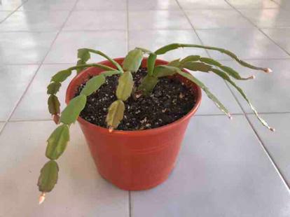 Epiphyllum x hybridus, Epiphyllum x ackermannii, Epiphyllum truncatum