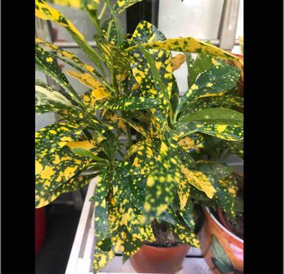 Croton Codiaeum, variegatum 'Aucubaefolia'