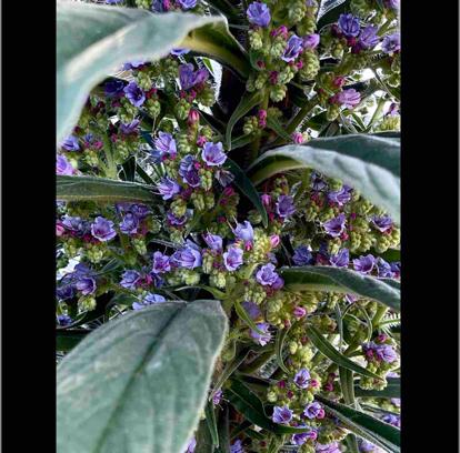 Echium candicans L.f.