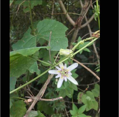 Passiflora morifolia