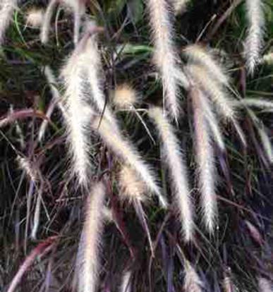 """Pennisetum setaceum, """"Rubrum"""""""