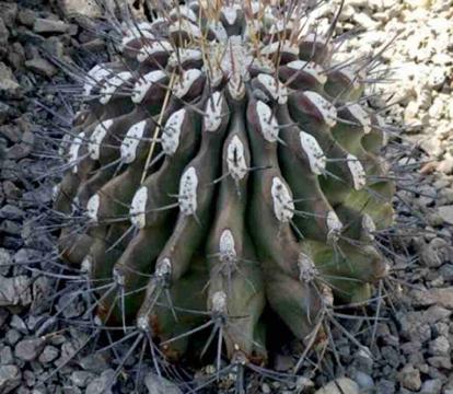 Ferocactus emoryi