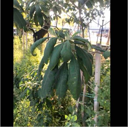 Solanum, 'granulosum leprosum'