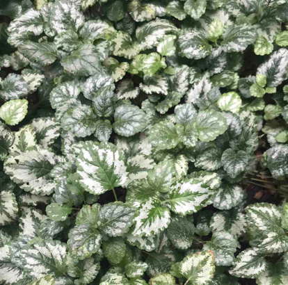 Lamium Galeobdolon, 'variegatum'