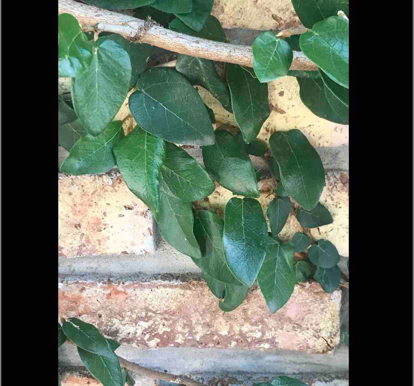 Ficus pumila, 'var. awkeotsang'