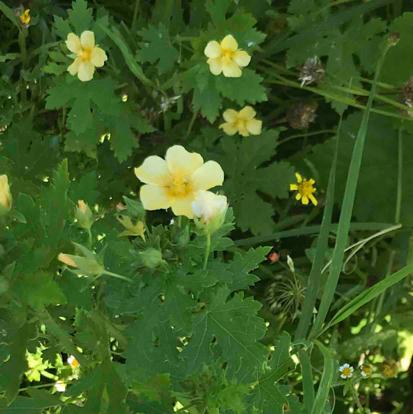 flower, shrub, Cinquefoil, rose family, common tormentil, wood sorrel family