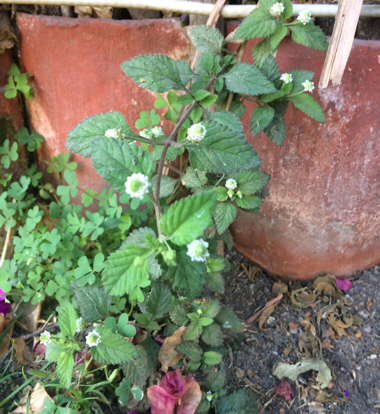 flower malvales