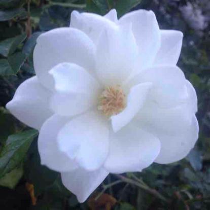 Rose Iceberg