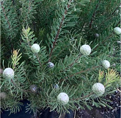 Leucadendron galpinii