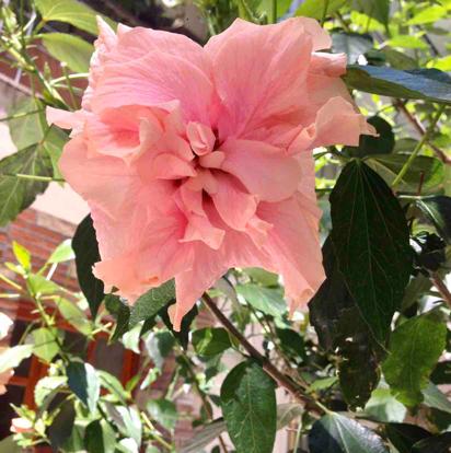 Hibiscus,  'Double Pink'
