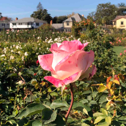 flower, floribunda, Rose, garden roses, rose family, grass