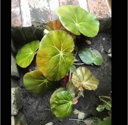 Begonia Erithrophylla