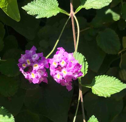 flower lantana hydrangea Verbena lantana camara verbena family cornales