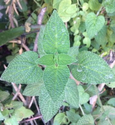 flower nepeta nettle family