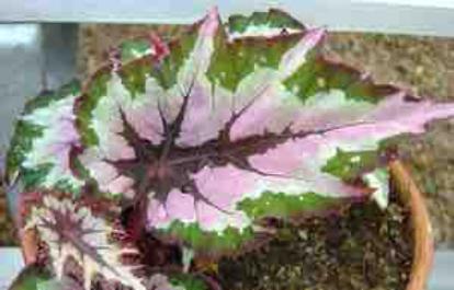 Begonia Rex Paul Gibory