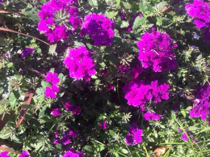 flower, magenta, dianthus, shrub, geranium, pink family, geraniaceae, Four o'clock family