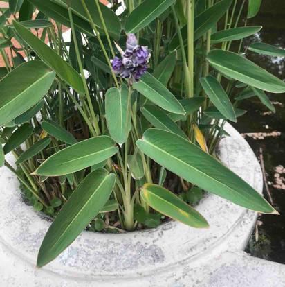 Thalía multiflora