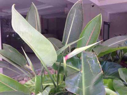 Sterlitzia reginae