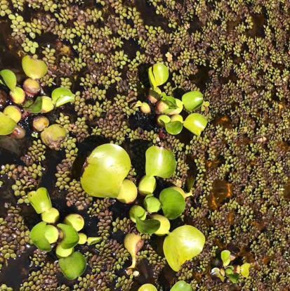 Eichhornia crassipes