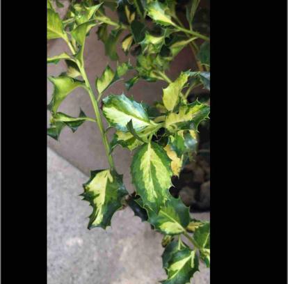 Ilex aquifolium, 'Angustifolia Aurea Maculata'