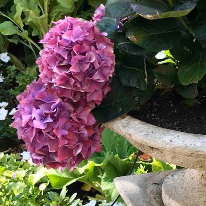 Hydrangea macrophylla, 'Hot Red Violet'