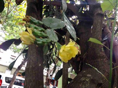 Opuntia brasiliensis