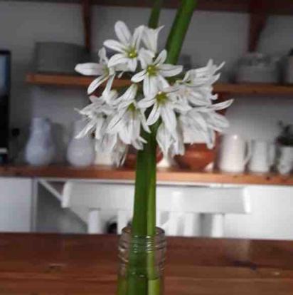 Allium trinquetum