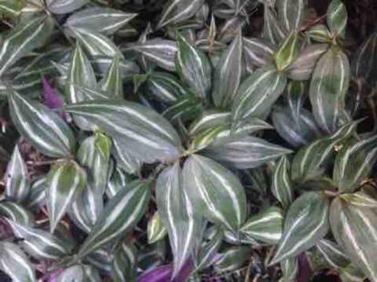 Tradescantia albiflora